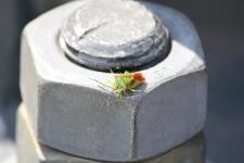 Grüne Stinkwanze / Green Shield Bug / Palomena prasina
